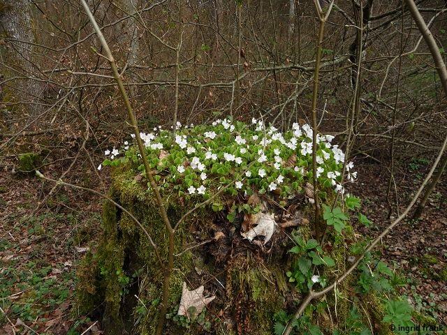 03.04.2017 - Im Baienfurter Wald