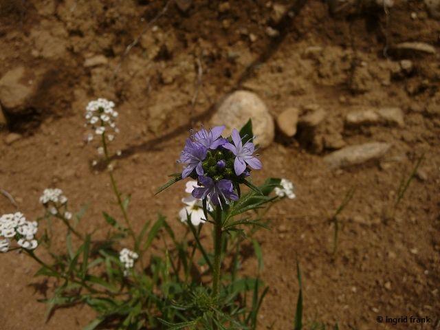 04.07.2014 - Blumenstreifen am Wegrain (vermutlich angesalbt) bei Ratzenried