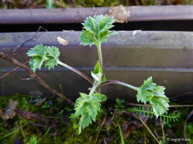 07.04.2018 - Artemisia vulgaris-Gewöhnlicher Beifuß