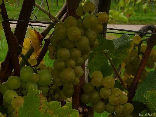 06.10.2012 - In den Weinbergen von Hagnau am Bodensee