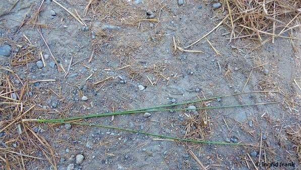 Pinus canariensis - Kanaren-Kiefer (die Nadeln können 15-30 cm lang sein)