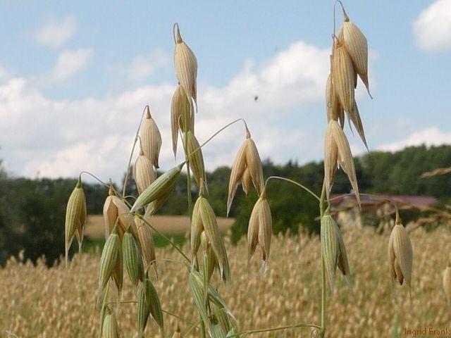 11.07.2012 - Haferfeld bei Oberhofen