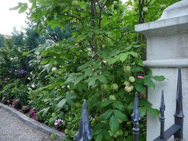 25.06.2012 - Vorgarten in Weingarten
