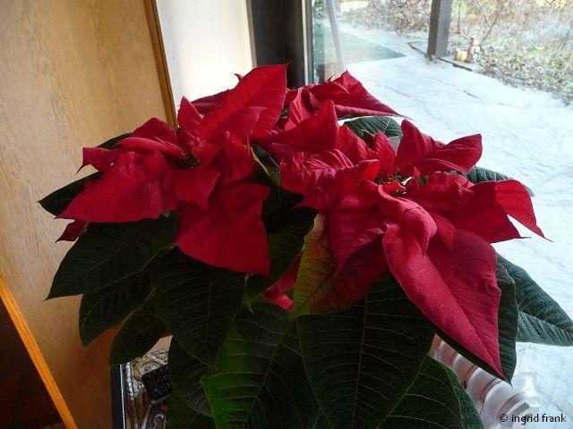 Euphorbia pulcherrima - Weihnachtsstern / Wolfsmilchgewächs