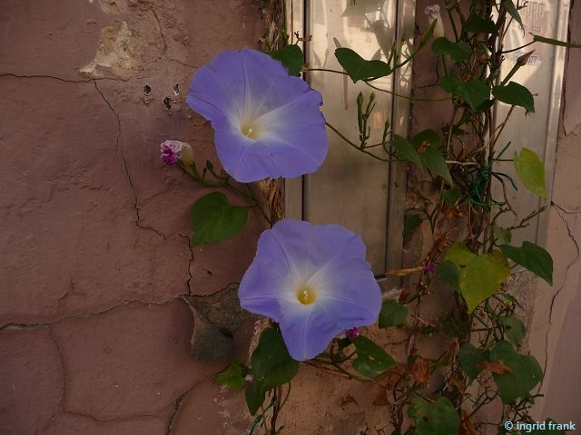 Ipomoea tricolor - Himmelblaue Prunkwinde / Windengewächs