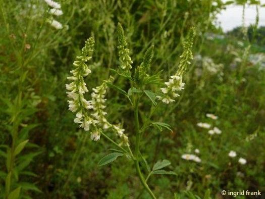 Melilotus albus / Weißer Steinklee