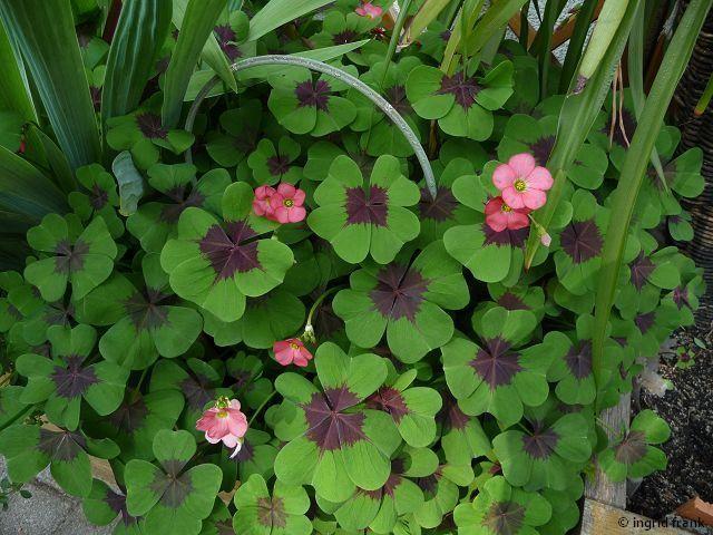 Oxalis tetraphylla - Glücksklee, Vierblättriger Klee / Sauerkleegewächs