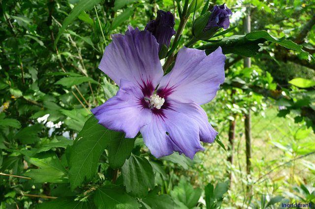 31.07.2010 - Hibiscus syriacus - Freiland-Roseneibisch (Familie: Malvengewächse)