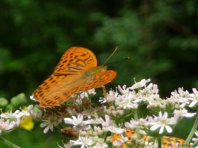19.07.2011 - Im Baienfurter Wald (Nektarpflanze für den Kaisermantel)