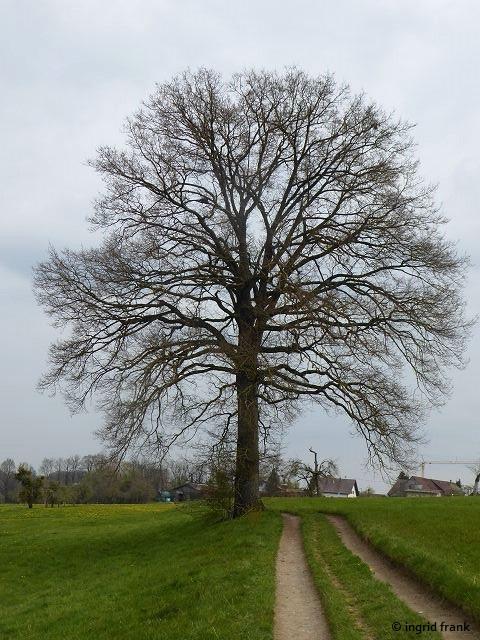 """22.04.2021 - Naturdenkmal """"Stieleiche sw. Köpfingen"""""""