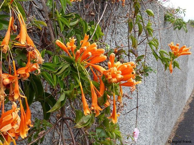 23.02.2018 - Zierpflanze im Westen von La Palma