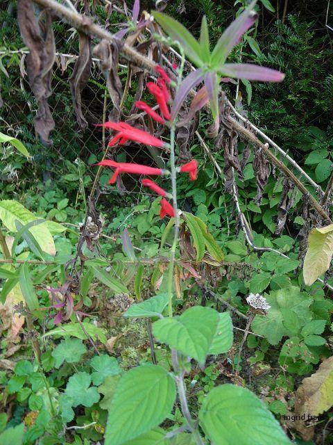 Salvia - Pfirsichsalbei / Lippenblütengewächs