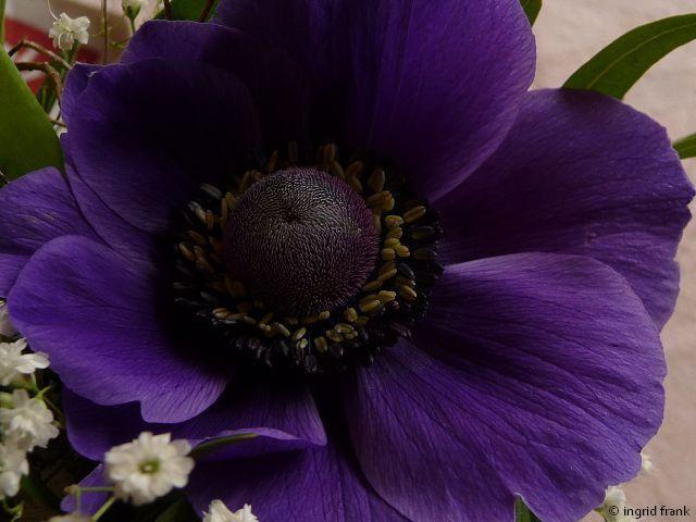 Anemone coronaria als Zierpflanze im Blumenstrauß