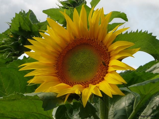 20.08.2017 - Sonnenblumenfeld auf der Höri
