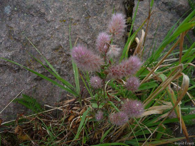 13.08.2011-Trifolium arvense - Hasen-Klee