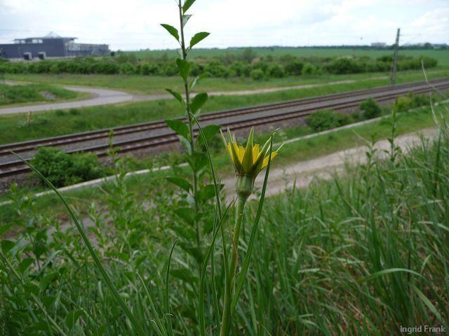 15.05.2011 - Neben der Autobahn am Schkeuditzer Kreuz bei Leipzig