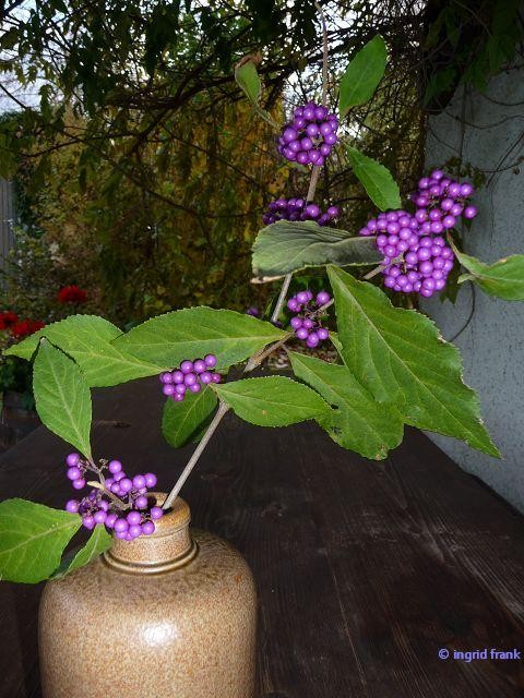Callicarpa - Liebesperlenstrauch / Lippenblütengewächs
