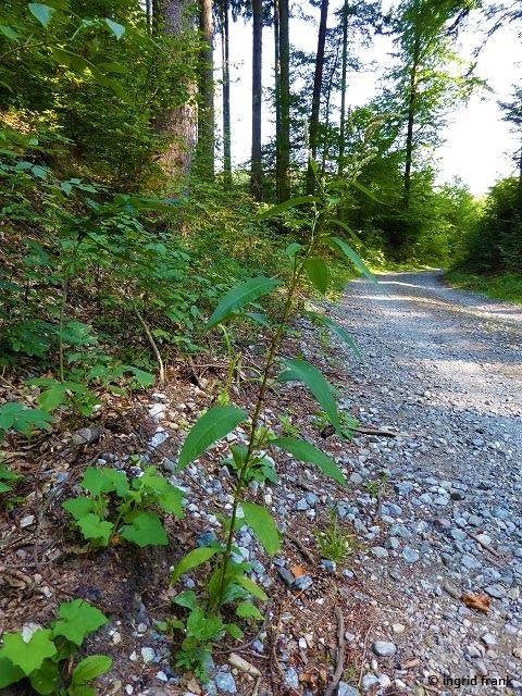 20.08.2018 - Im Altdorfer Wald bei Baumgarten