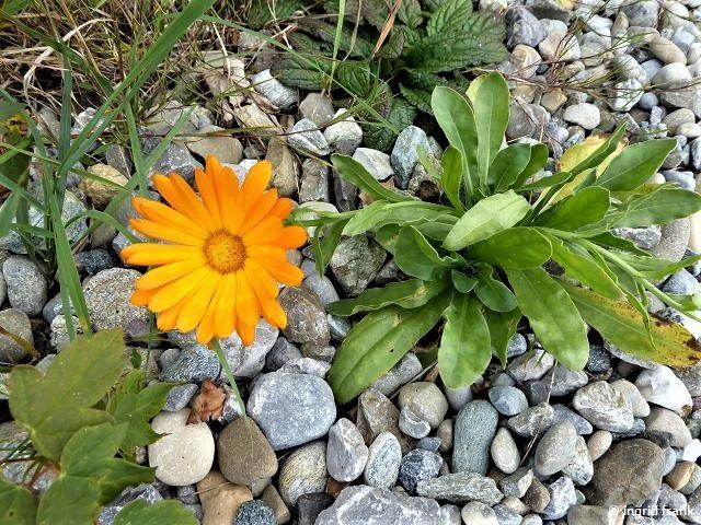22.09.2019 - Einsame Ringelblume an einem Wanderweg