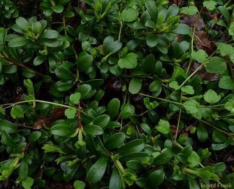 Arctostaphylos uva-ursi / Echte Bärentraube