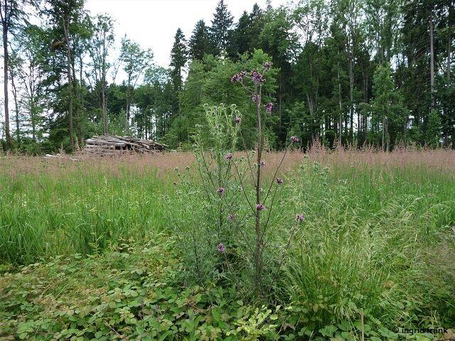 30.06.2013 - Cirsium vulgare und Cirsium palustre nebeneinander (Kartierexkursion Herdwangen)