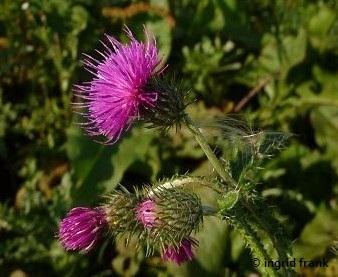 Carduus crispus - Krause Distel    VII-IX