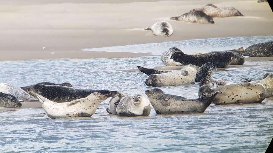 Les phoques au Hourdel, baie de Somme