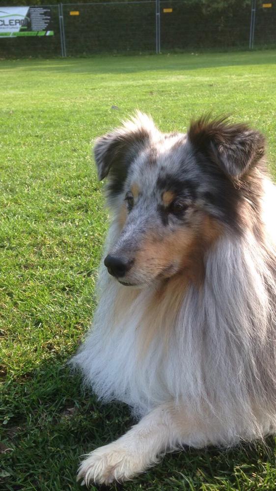 BogeyBenito mit 3,5 Jahren. So ein hübscher Bube und fleißiger Therapiehund