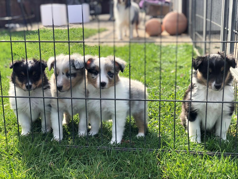 Unsere kleinen I-Sheltiebabys mit 6 Wochen