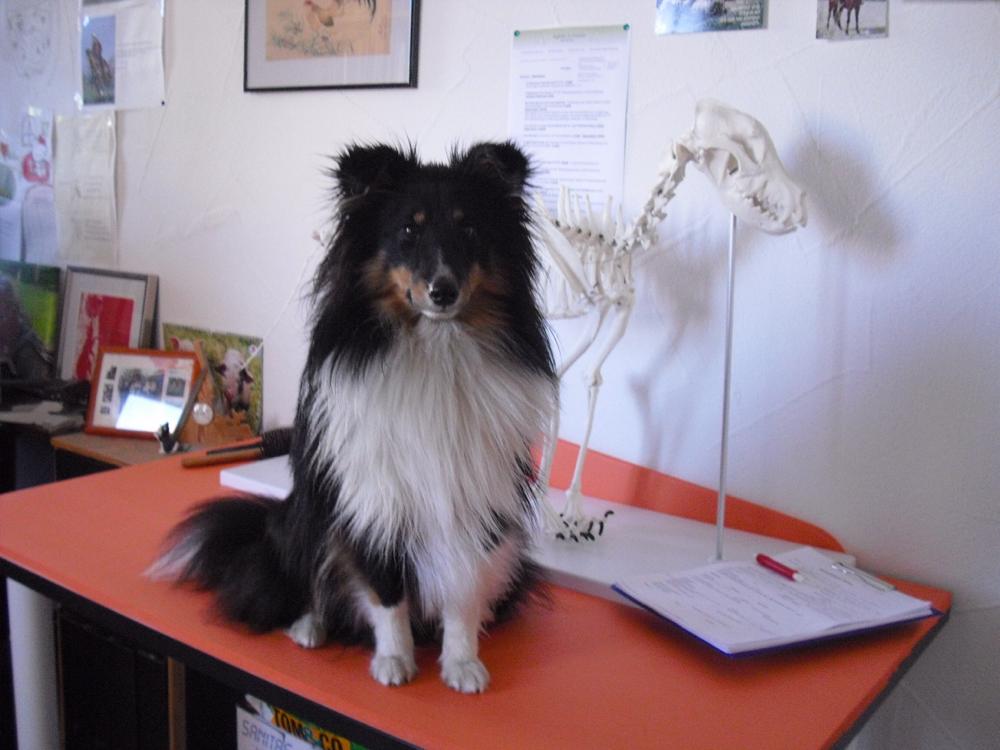 """FipsFeurig """"Finlay"""" mit 11 Monaten, 37 cm bei 7 kg. Er hilft immer gerne bei der Arbeit seines Frauchens."""