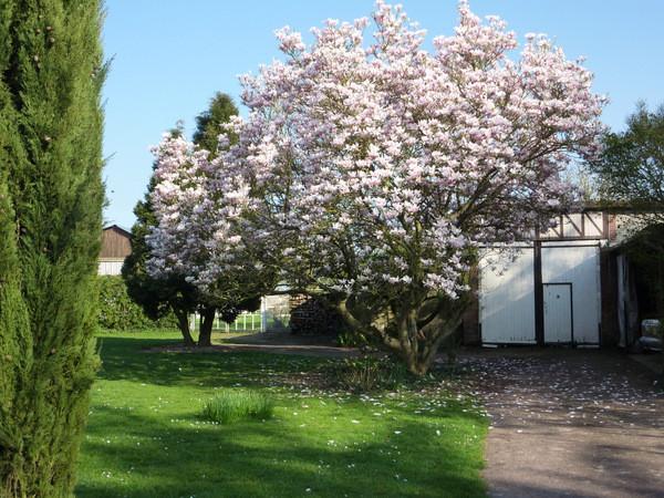 Le Magnolia en fleurs