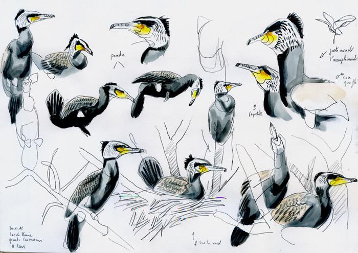 Grands cormorans, Olivier Loir