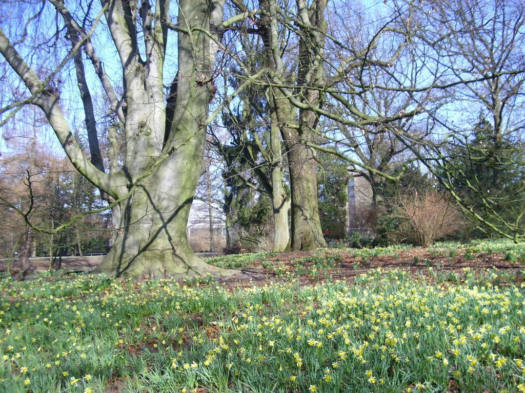 Osterglocken im Sentmaringer Park  Foto: WK