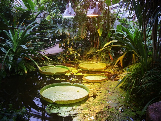Seerosen im Botanischen Garten in Münster  ,  WK