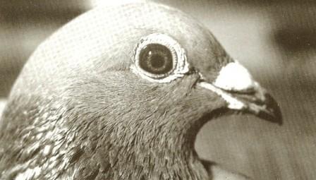 """Der Kopf des """"Jonge Merckx"""". Er flog 15x den 1e Preis !!! Als Vererber war er mit einer der besten Tauben der Gebrüder Janssen"""