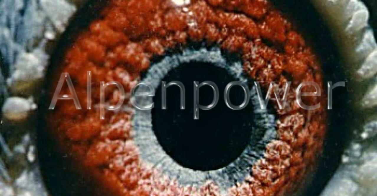 Alpenpower-Tauben-Weitstreckentauben-Augenstudie