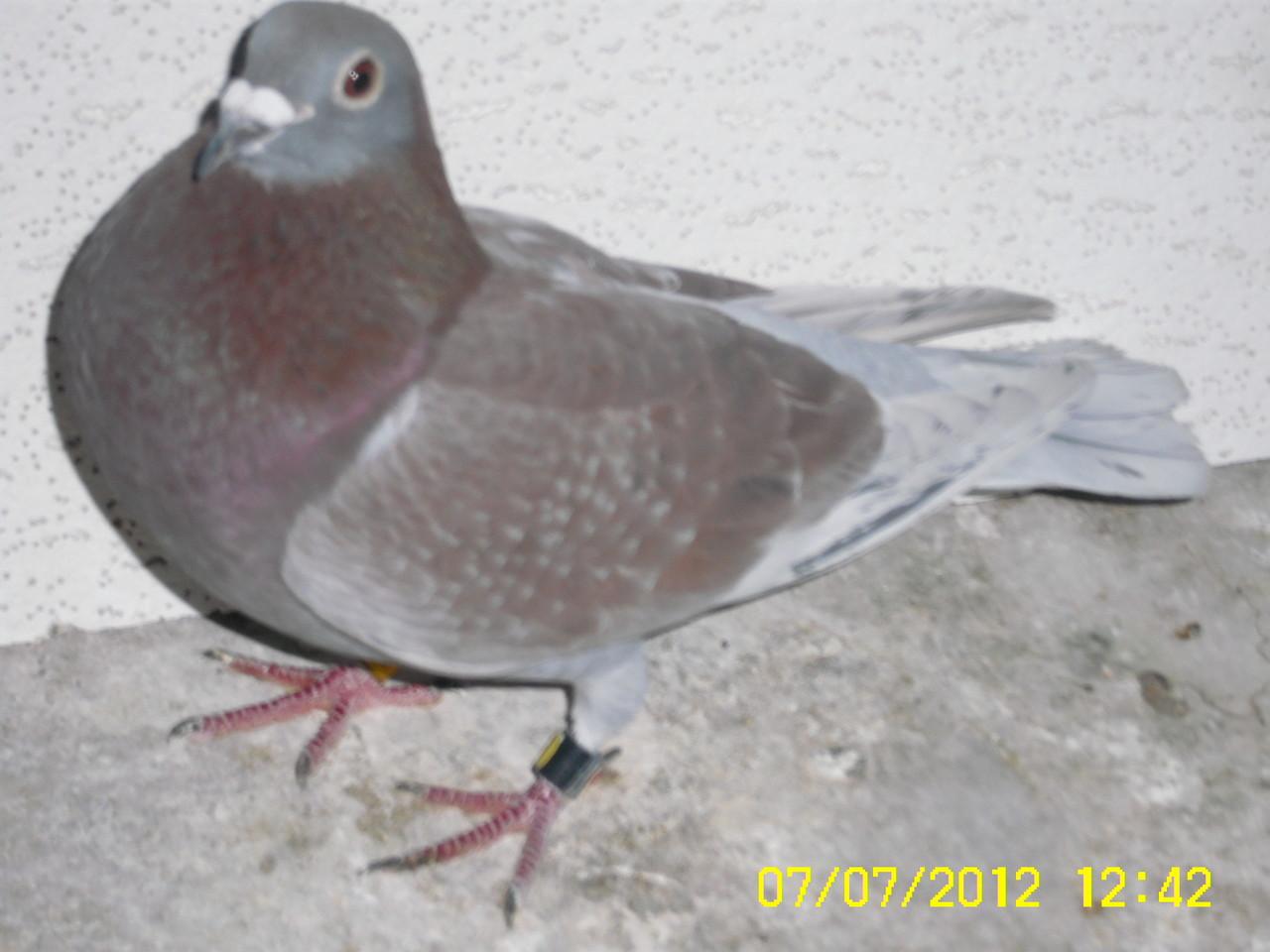 Der Rote Weitstreckenvogel 710 und 1.Konkurs Flieger von Ruffec 844km