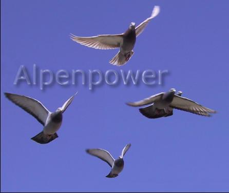 Die Hochgebirgs-Tauben absolvieren Wöchentliche Trainingsflüge von Südtirol nach Bayern und müssen dabei die Alpen in 4000m Höhe überqueren…