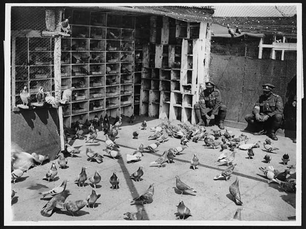 Bumerang Tauben die den 1.Weltkrieg überlebten...