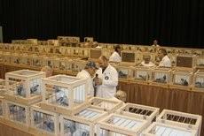 Die Besten der Besten werden alljährlich auf der Deutschen Brieftauben-Ausstellung (DBA), die in den Dortmunder Westfalenhallen stattfindet, präsentiert...