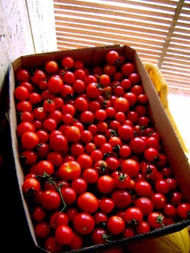 農園でとれたトマト