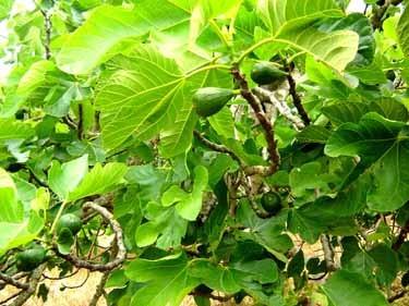 農園のイチジクの木