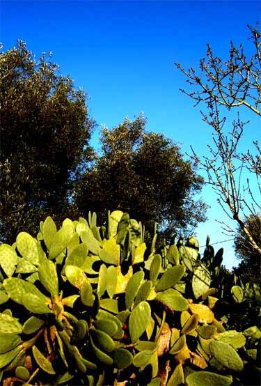 サボテンとオリーブと青い空