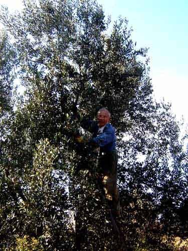 お義父さんのオリーブ収穫