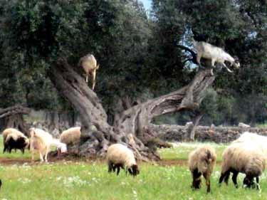 オリーブの古木によじ登って葉を食べる羊たち