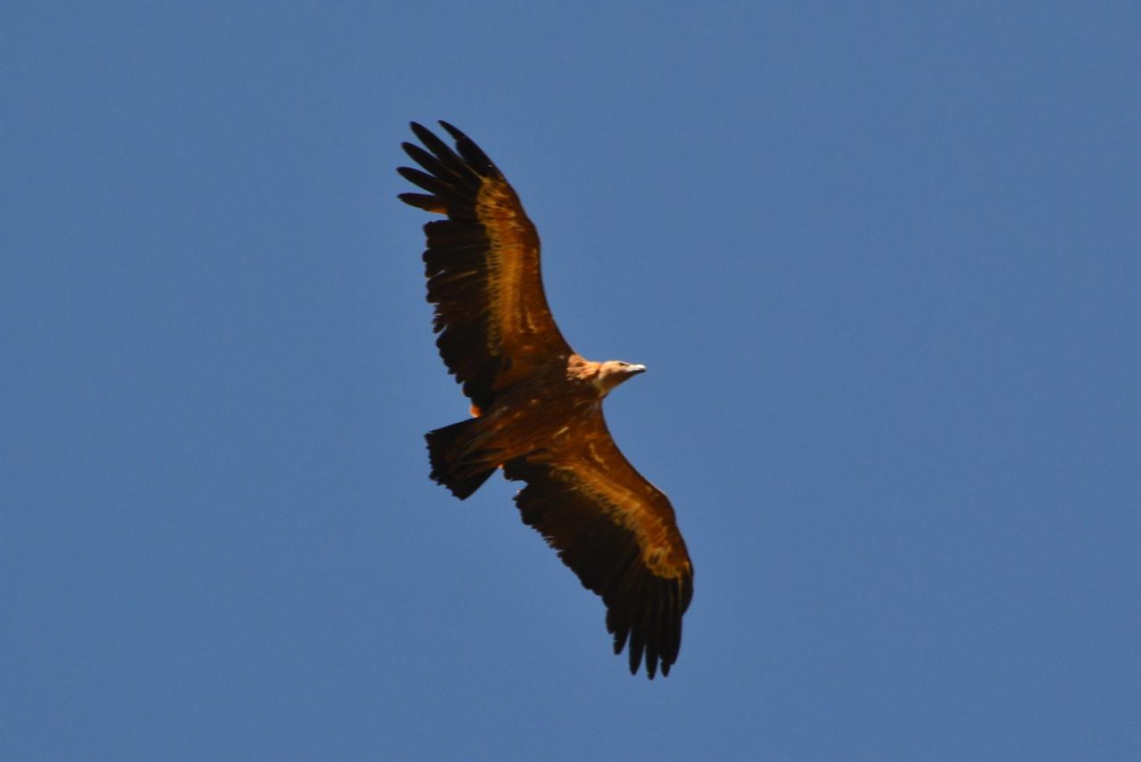 vautour fauve niché dans les gorges de la jonte