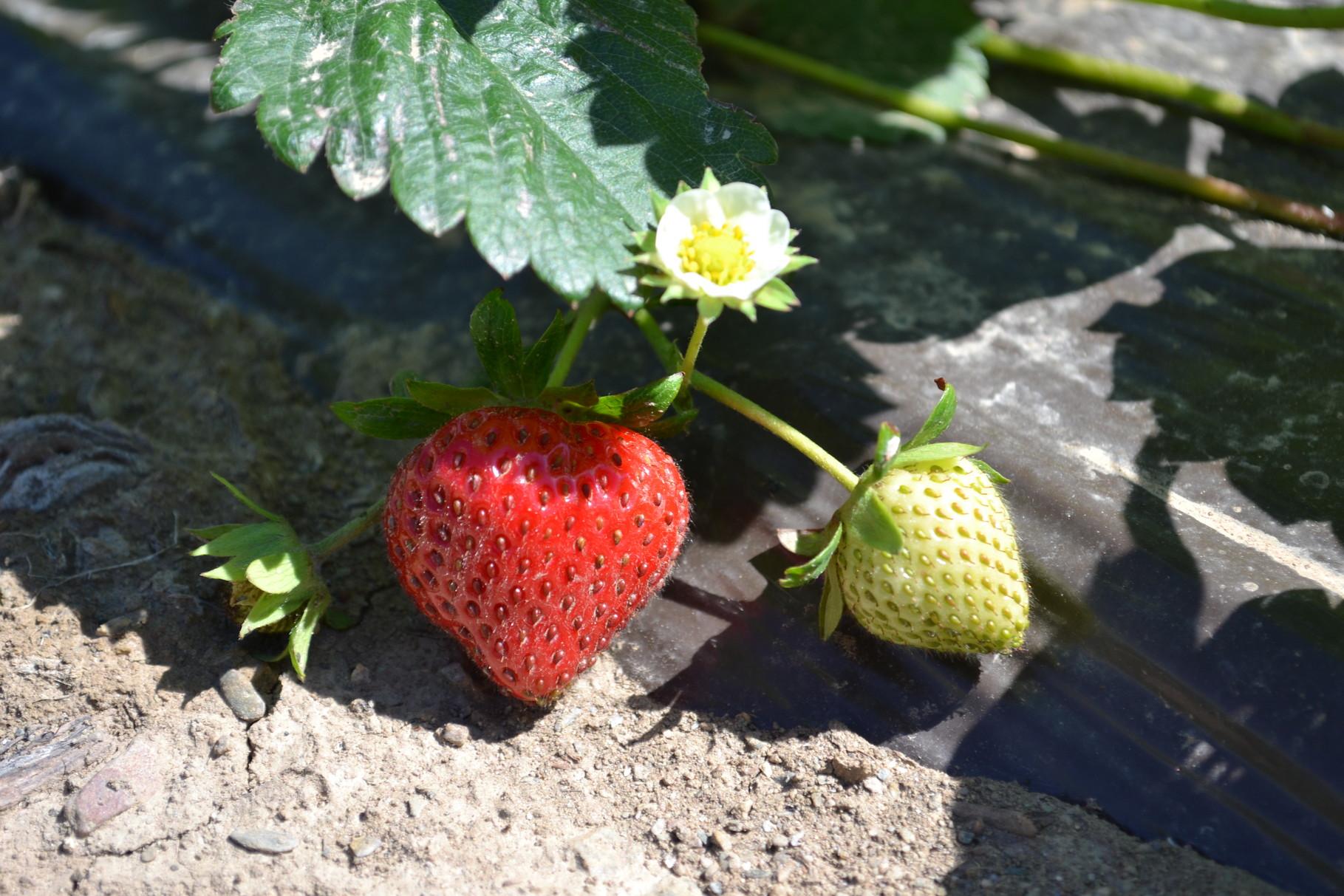 Un plant de fraise biologique