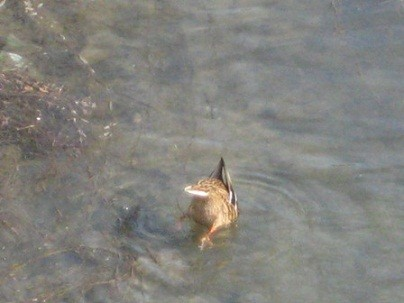 鴨川のカルガモ