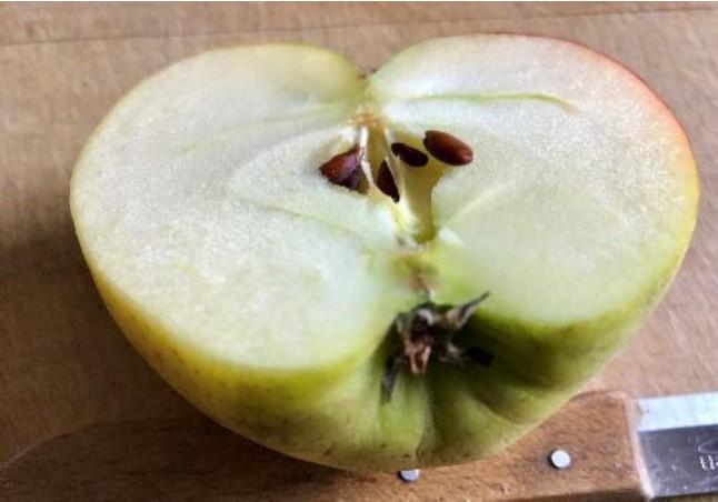 Apfelhälfte mit Kernen und verbliebenen Kelchblättern