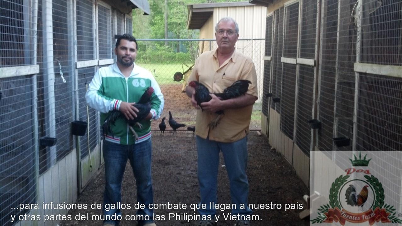 Cargando unos gallos rampuri con el gran criador de gallos americanos y orientales BOB CORREY . Bob Correy lleva mas de 40 años criando y mezclando gallos orientales con sus lineas americanas asi comprobando que el gallo oriental es muy usado para